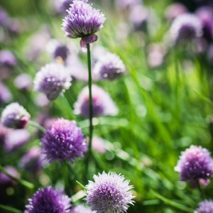 Chive flowers are abundant in spring
