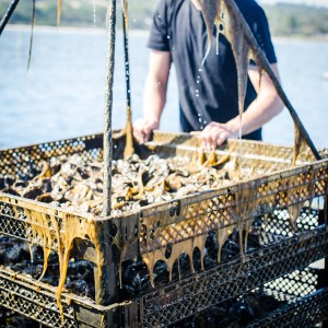 Fresh oysters, ready for sale