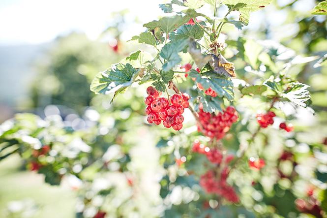 Maui-Gunnadoo-Berries-4