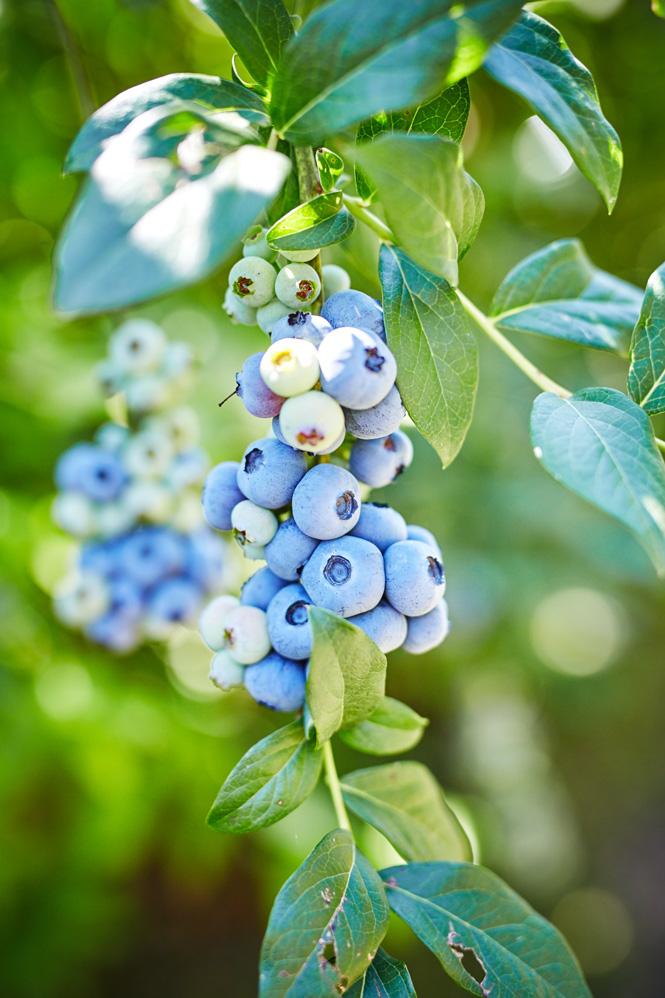 Maui-Gunnadoo-Berries-7